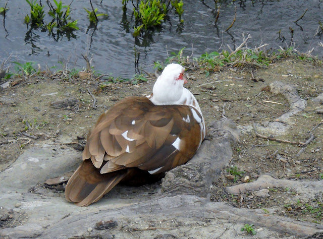 Muscovy Duck at White Rock Lake, Dallas, Texas