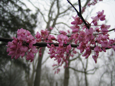 Red Bud in Spring
