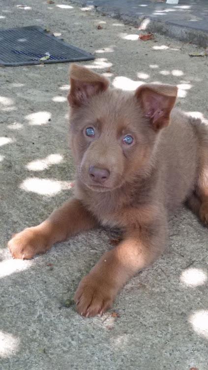 Evaluación, 4 meses. Precioso Husky con pastor alemán