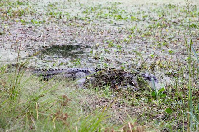American Alligator-Brazos Bend State Park-Needville, Texas