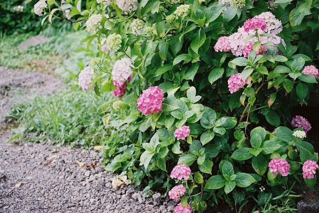 vivid pink hydrangeas
