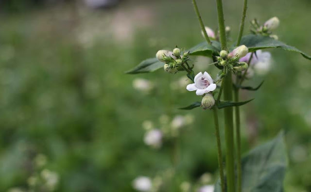 Foxglove Beardtongue Flowers Pictures