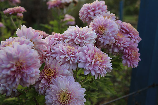 Chrysanthemum vinterhårdfør