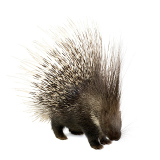 Image of porcupine with quills aggressively postured.
