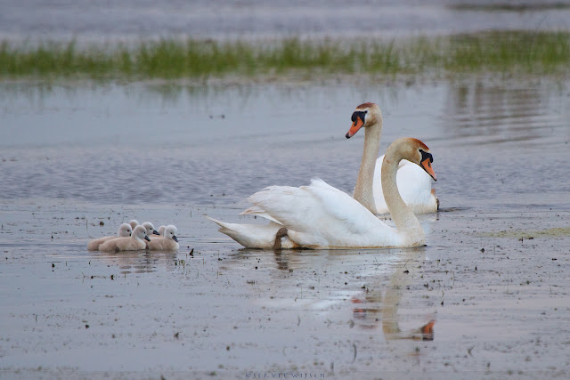 Knobbelzwaan met kuikens - Mute Swan with Chicks
