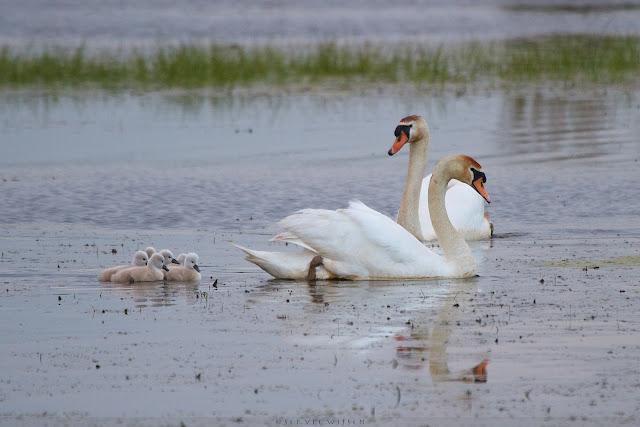 Knobbelzwaan met kuikens - Mute Swan with Chicks