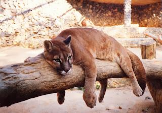 Puma animais pantanal