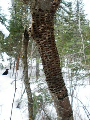 sapsucker holes in alder