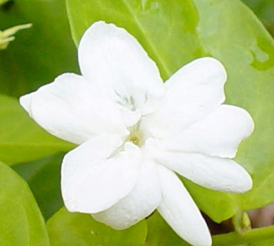 The journey waling waling as philippines national flower a good idea a fragrant small white flower called sampaguita is the national flower of the philippines i have known since i was a kid is chosen because of the fact mightylinksfo