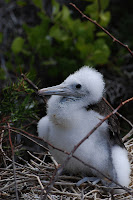 Galapagos Frigate Bird Chick