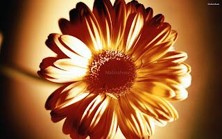 Flower images, Wide screen wallpapers,fresh flowers,Beautiful flowers,Common_daisy_flower_head_hd_wallpaper
