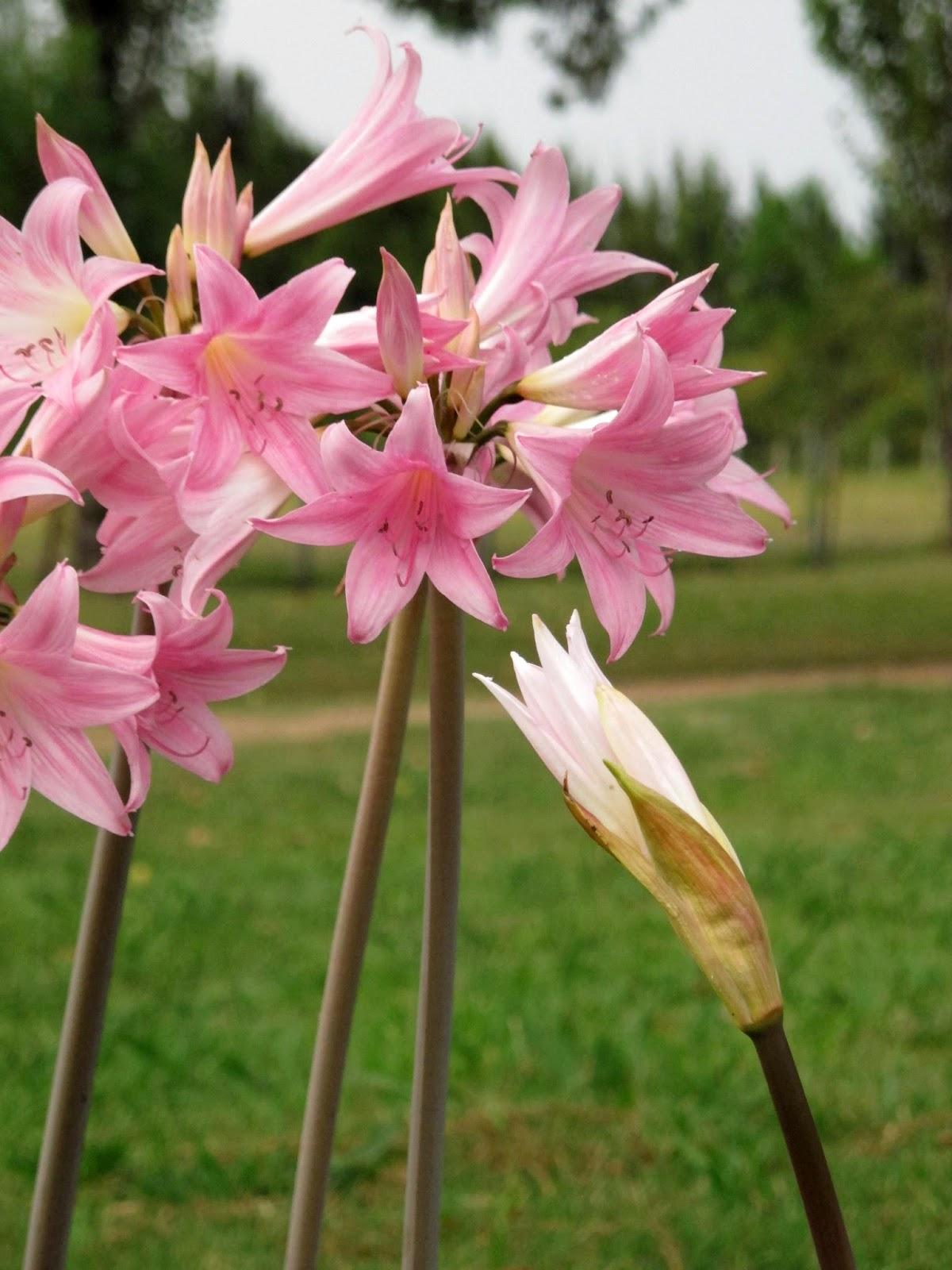 En el jardin amaryllis belladona una bulbosa de verano for Amaryllis jardin