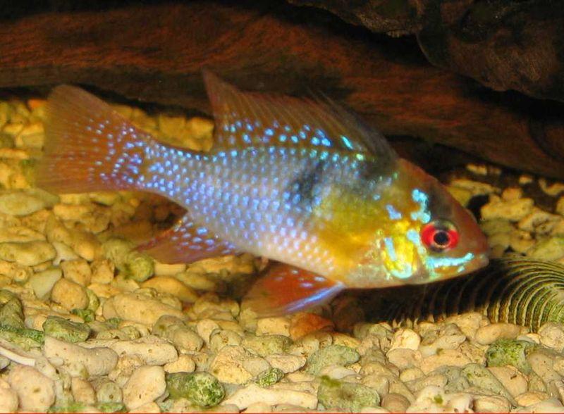 Blue ram, German ram - Mikrogeophagus ramirezi