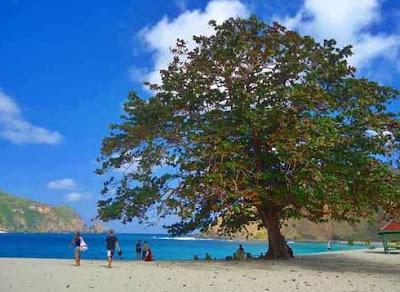 Pohon di Pantai Mawun
