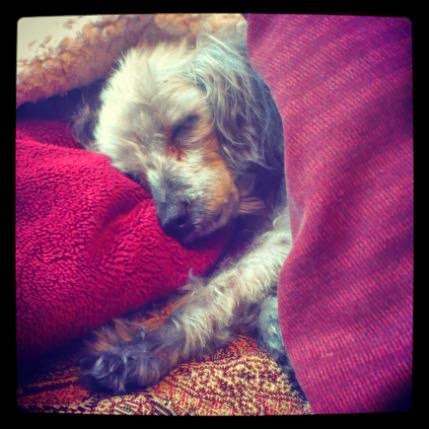 Square photo of a tiny short-haired grey dog asleep with his head pillowed on a red blanket. A burgundy comforter is pulled up to his shoulders. One of his paws is splayed out on the bed beside him.