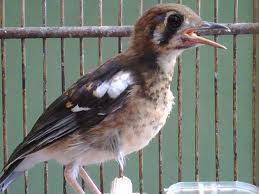 Tips membeli burung anis kembang ~ Kicau Burung Lokal I