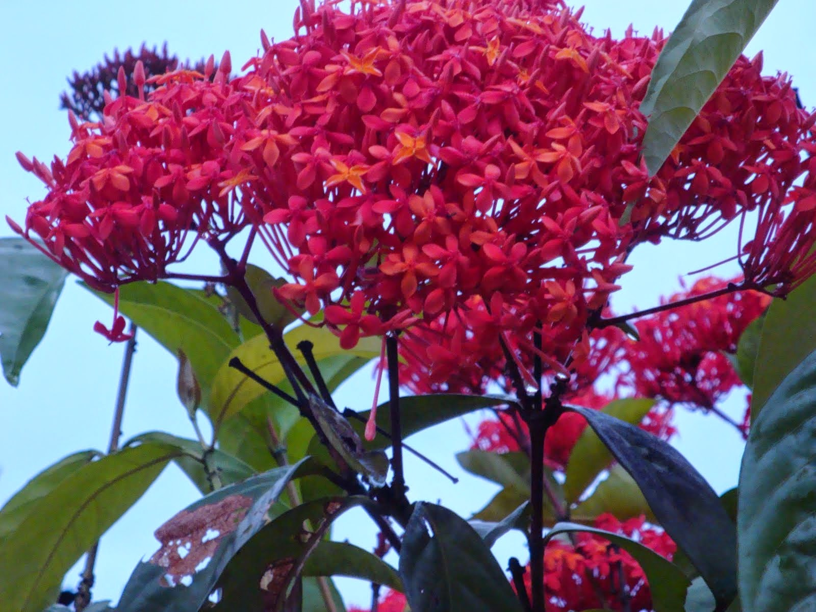Munawi Inside Bunga Majemuk Campuran Inflorescentia Mixta