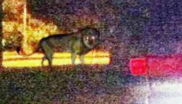 Penampakan Singa Misterius Membuat Warga Cemas [ www.BlogApaAja.com ]