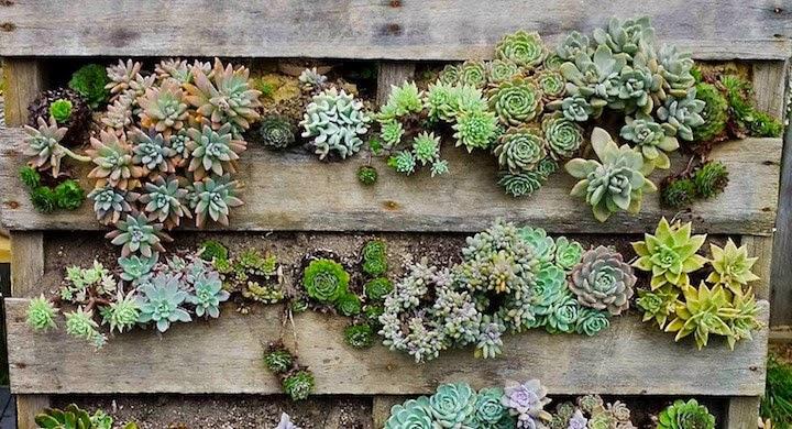 Crasas y cactus - Plantas crasas colgantes ...