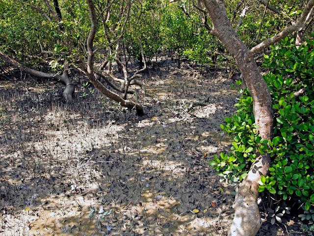 mangrove sundarban