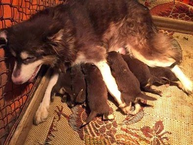 Đàn alaska con đang bú mẹ
