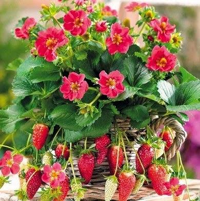 Buah Strawberry Dan Aneka Manfaatnya