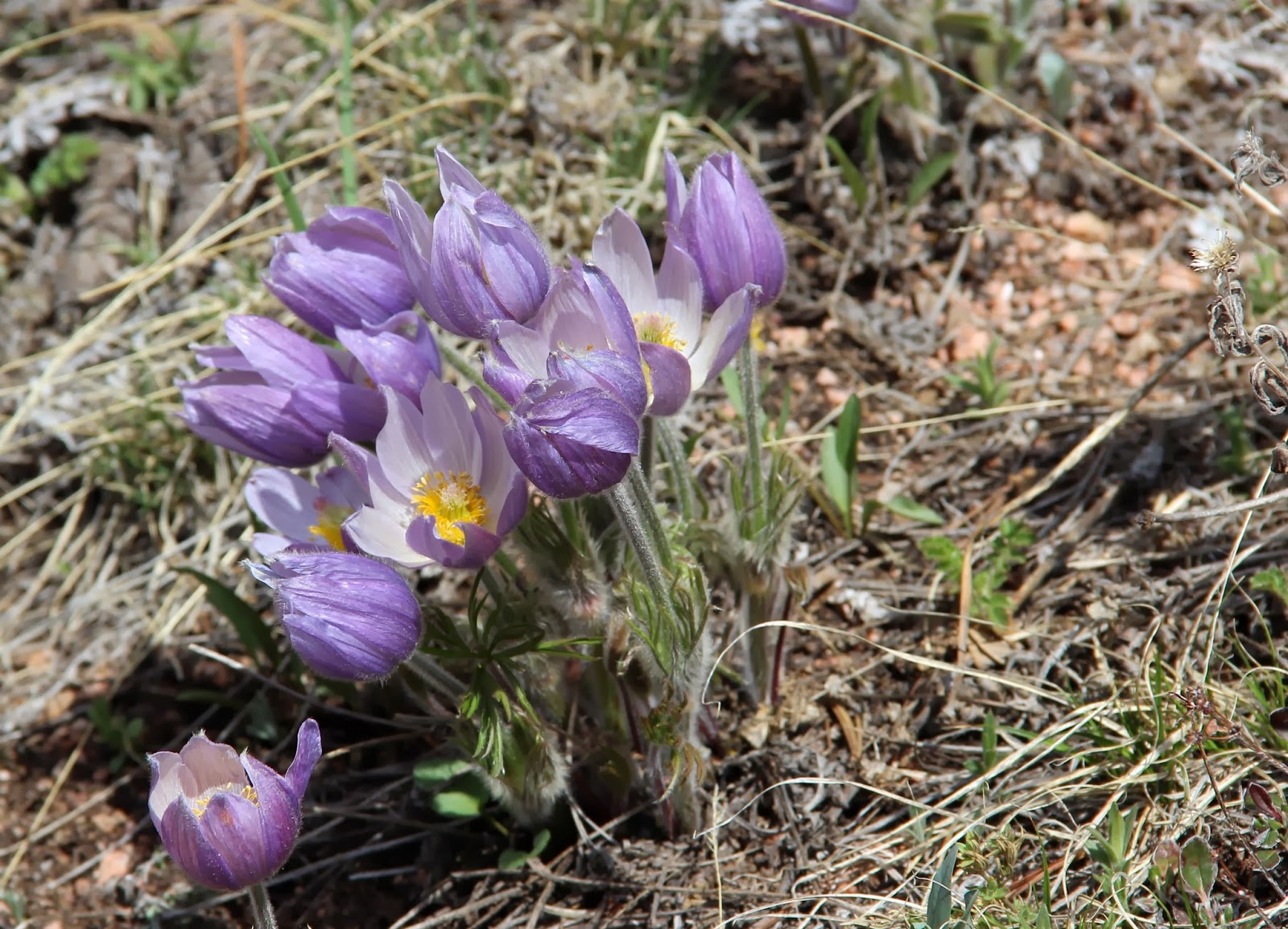 """In the pany of Plants and Rocks """"the rarest prairie gem of all"""""""