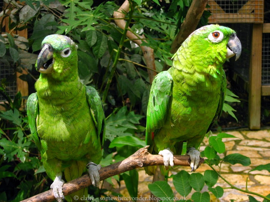 Olive Throated Conures - Macaw Mountain, Honduras