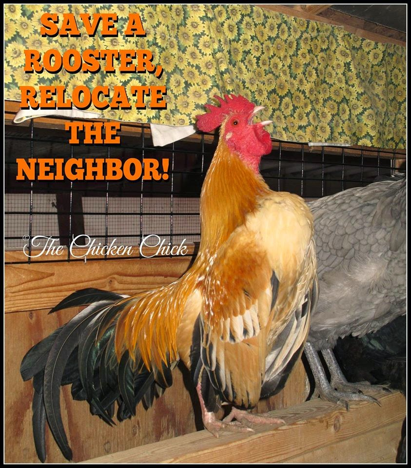 Save a rooster, relocate the neighbor!