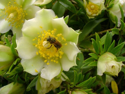 Manduri coletando néctar...