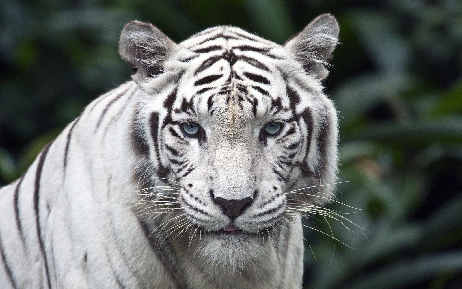 japan: white tiger hd wallpapers for desktop free