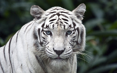 White Tiger Wallpapers Free