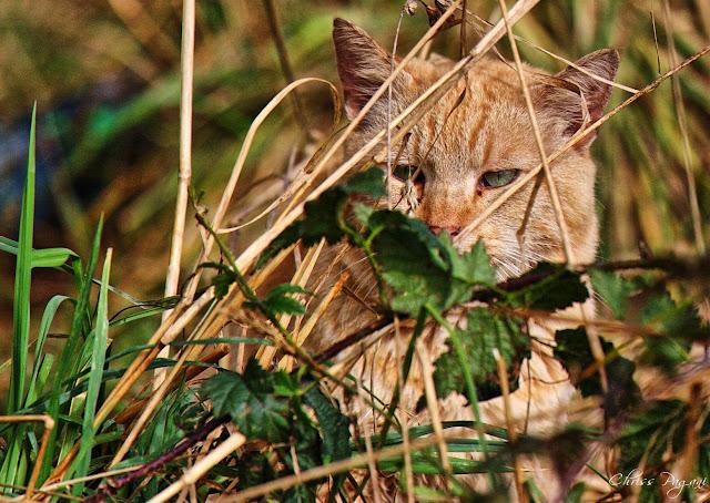 Hidden beige ginger feral cat