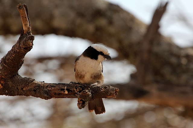 Northern White-crowned Shrike Ethiopia