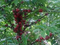 Mahkota Dewa (Phaleria macrocarpa [Scheff.] Boerl.)