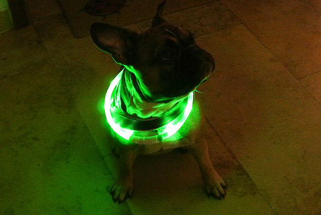 French Bulldog Genki with night safety collar
