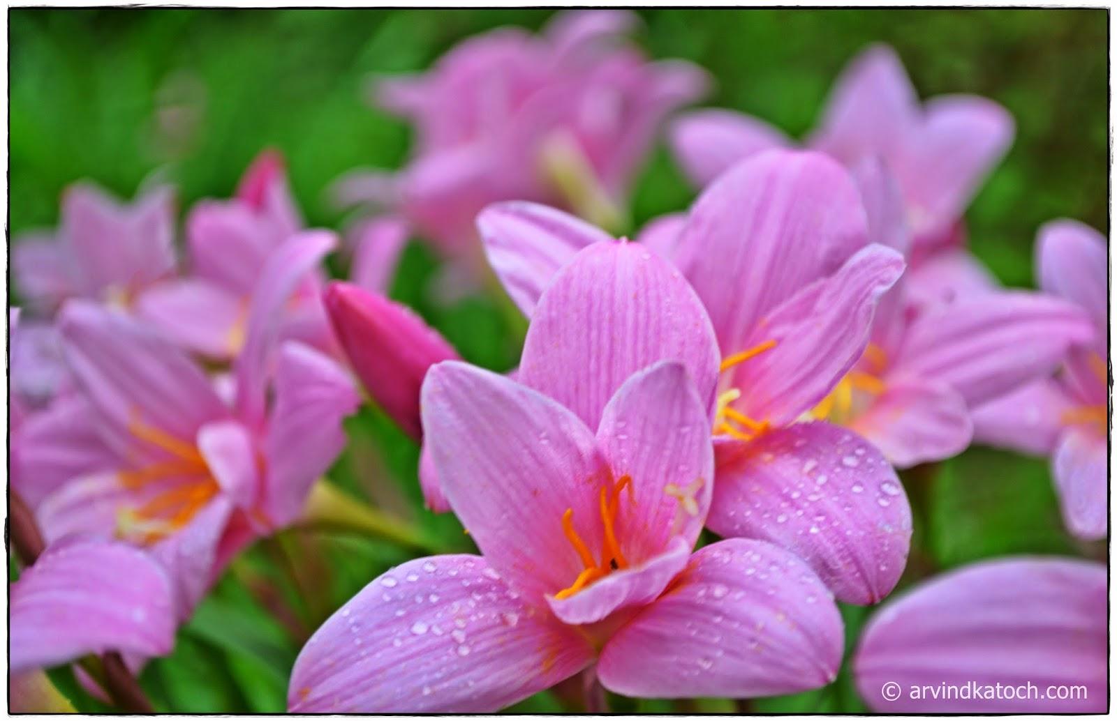 Pink Flowers, Grass, Flowers, Himachal Pradesh