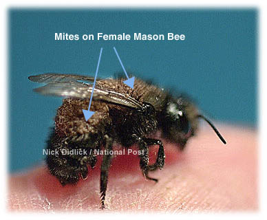 Mites Are Transported By Bees From The Old Nest To New