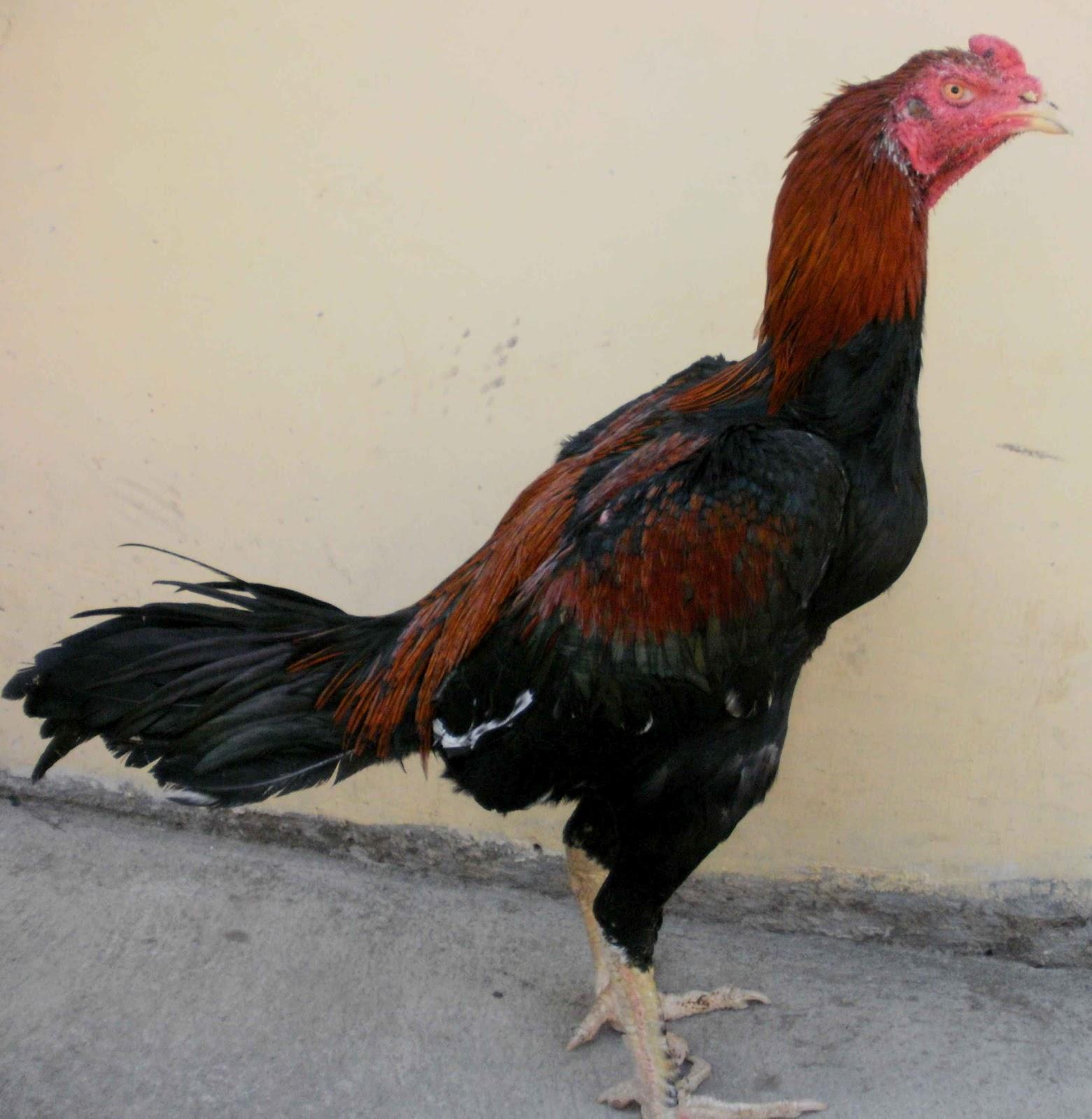 ... Ayam Bangkok Berkwalitas ( Dari Pacekan F1 ): Sifat Dasar Ayam Bangkok
