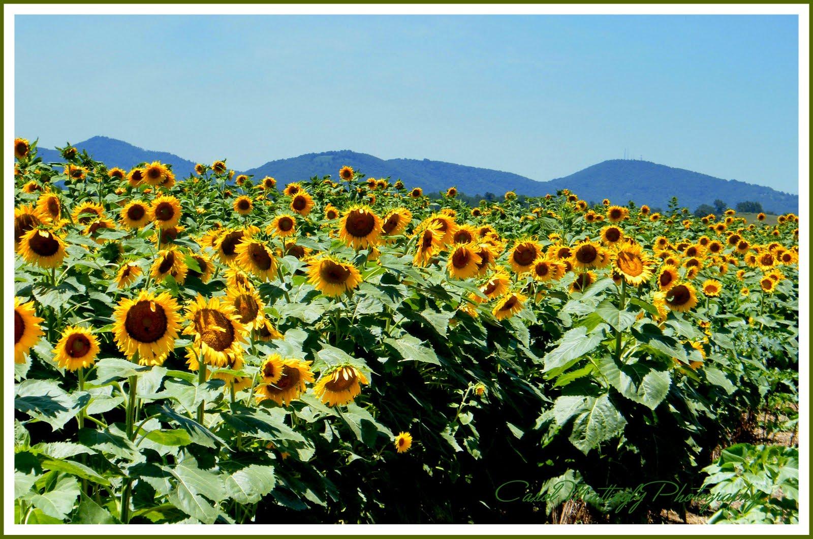 Carol Mattingly Photography Sunflower Field