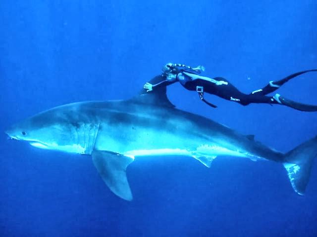 аквалангист схватил акулу за хвост