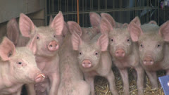 Animal Spotlight: RESCUED PIGLETS