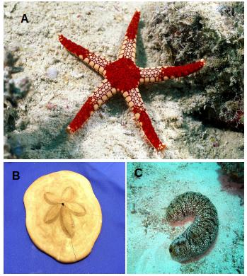 Reino Animalia: Filo Echinodermata