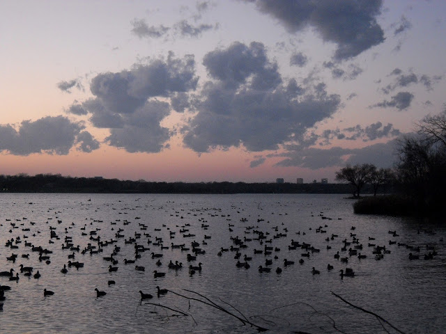 Waterfowl flock to Sunset Bay, White Rock Lake at sunset
