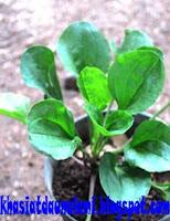 khasiat daun sendok