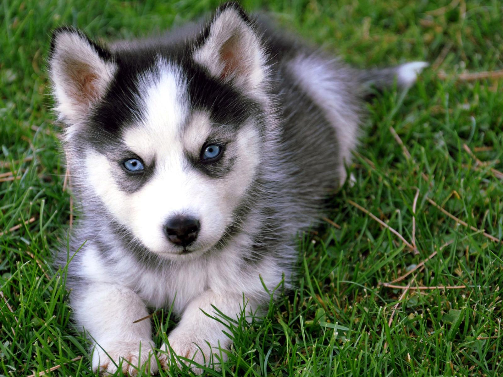 Siberian Husky Dog Training And Caring | Dog Training