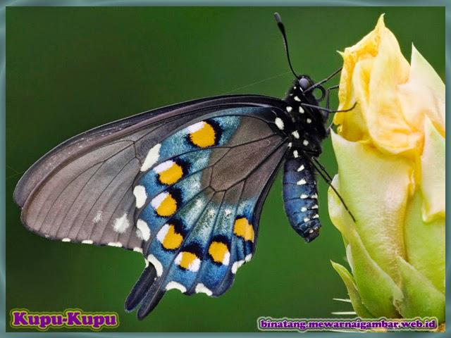 gambar binatang kupu-kupu