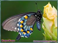 gambar kupu-kupu