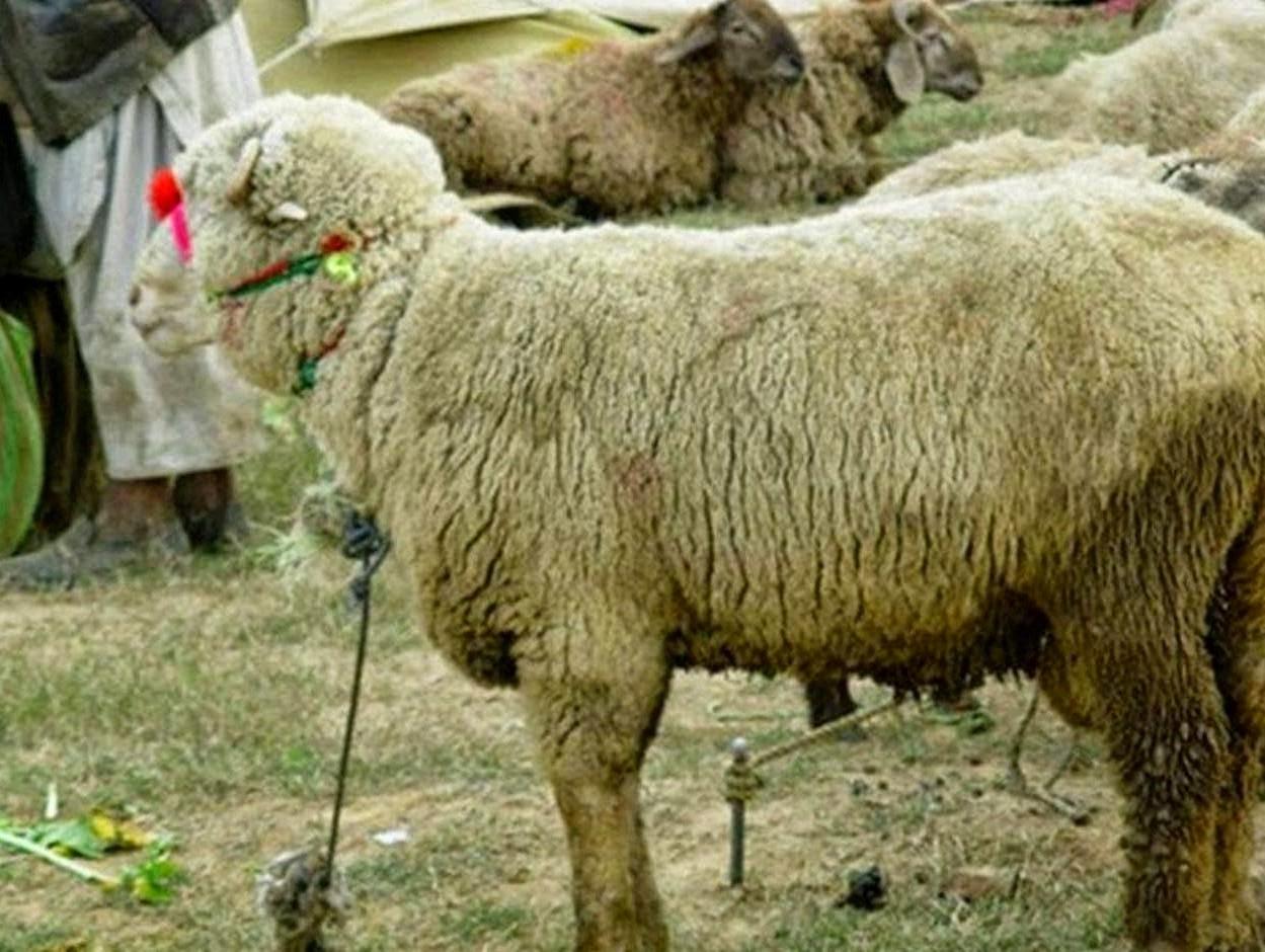 qurbani sheep - photo #12