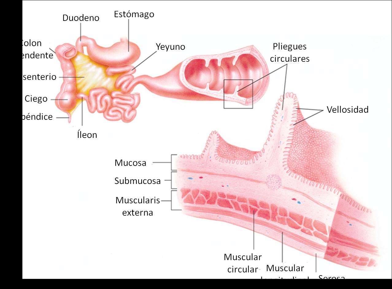 Esófago e Intestinos: delgado y grueso ~ BLOG DE FISIOLOGÍA BASICA